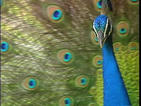 A peacock displays its spread tail-feathers Stock Video Footage