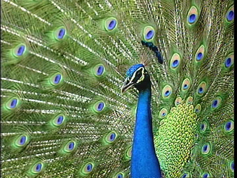 A peacock displays its gaudy tail-feathers Stock Video Footage