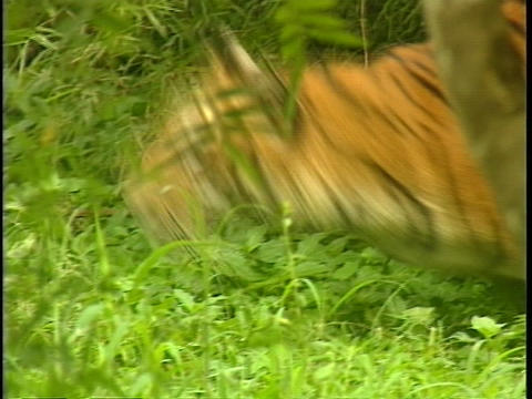 A tiger stalks and then lunges in a jungle clearing Stock Video Footage
