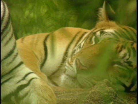 Indian tigers rest in the jungle Stock Video Footage