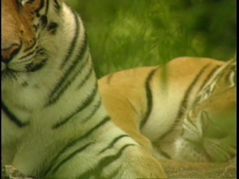 Indian tigers rest in the jungle Footage