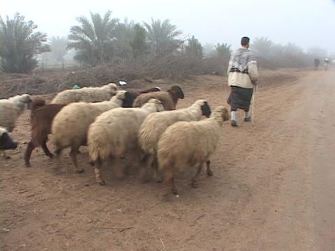 An Iraqi sheepherder walks along a dirt road Stock Video Footage