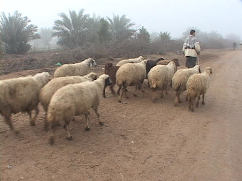 An Iraqi sheepherder walks along a dirt road Footage