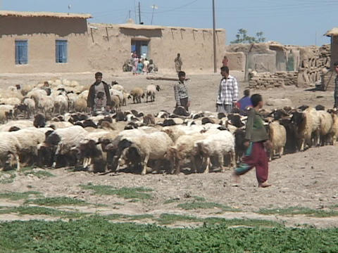 Young Iraqi men and boys herd sheep on a farm in rural Iraq Footage