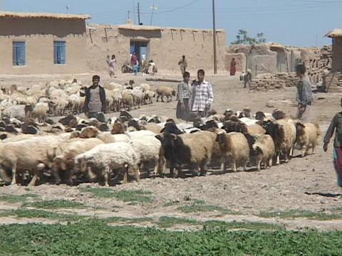 Young Iraqi men and boys herd sheep on a farm in rural Iraq Stock Video Footage