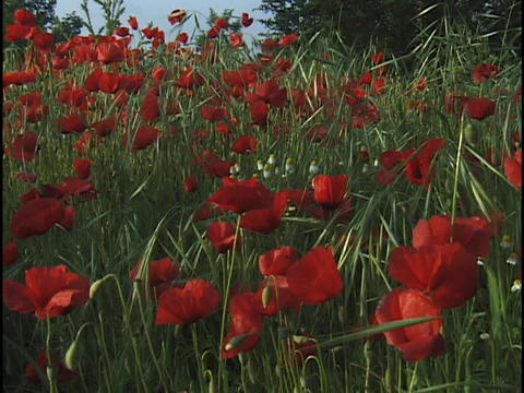 Red flowers sway in a field Stock Video Footage