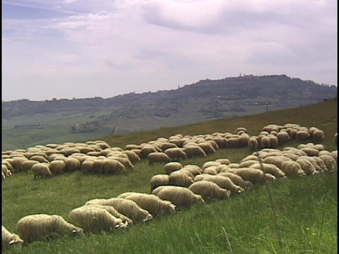 Sheep graze on a grassy hillside in Tuscany, Italy Footage
