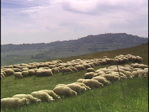 Sheep graze on a grassy hillside in Tuscany, Italy Stock Video Footage