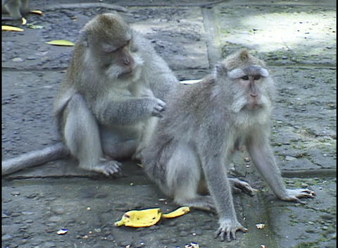A gray monkey grooms another monkey's back Live Action