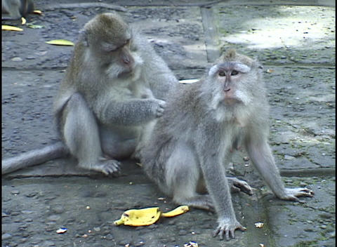 A gray monkey grooms another monkey's back Stock Video Footage