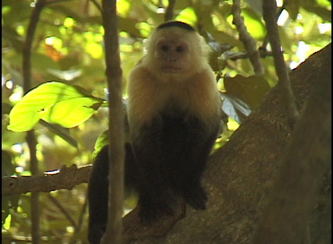 A small black and white monkey sits on a tree branch Footage