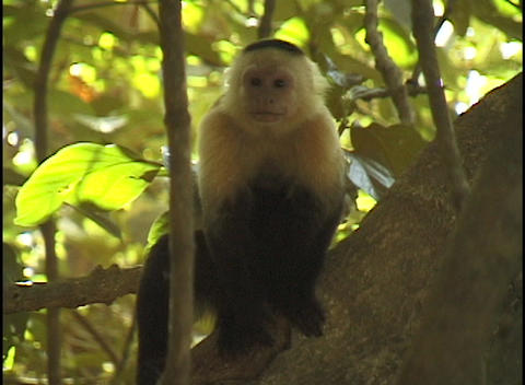 A small black and white monkey sits on a tree branch Stock Video Footage