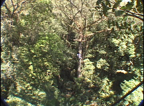 A woman jumps off of a platform and rappels on a zip-line into the jungle Footage