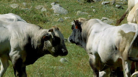 Cows And Cattles At Gias Della Casa, Italy Footage