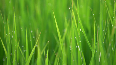 asian rice bokeh water drop morning ภาพวิดีโอ