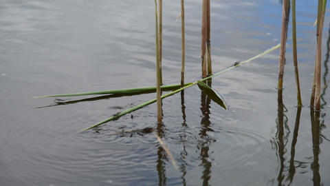 Pond skaters among the reeds Footage