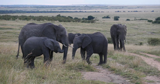 African Elephant, loxodonta africana, Group in the Savannah, Masai Mara Park in Kenya, Real Time 4K Live Action