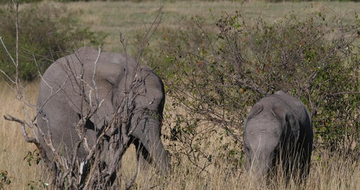African Elephant, loxodonta africana, Youngs eating the Bush, Masai Mara Park in Kenya, Real Time 4K Live Action