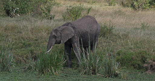 African Elephant, loxodonta africana, Adult entering Swamp, Masai Mara Park in Kenya, Real Time 4K Live Action
