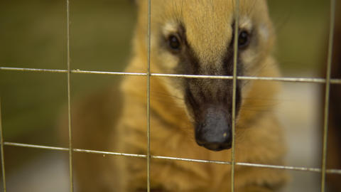 The nasua raccoon stuck his nose through the cage. Raccoon with big nose Live Action