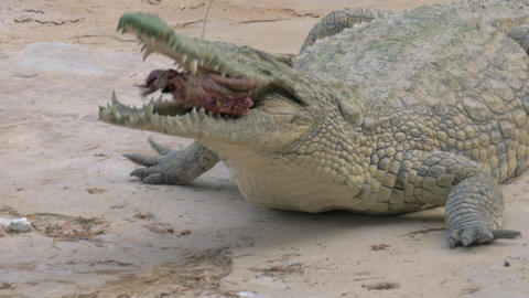 Crocodile eating its prey Live Action