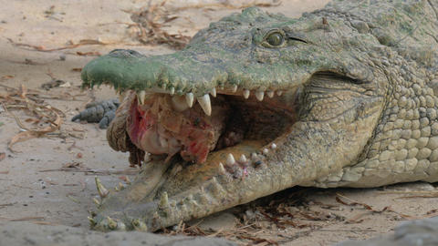 Hungry crocodile with meat in jaws Live Action