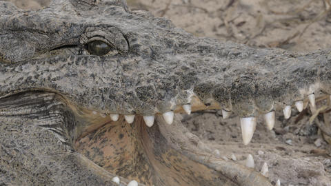 Crocodile cooling itself with open jaws Live Action