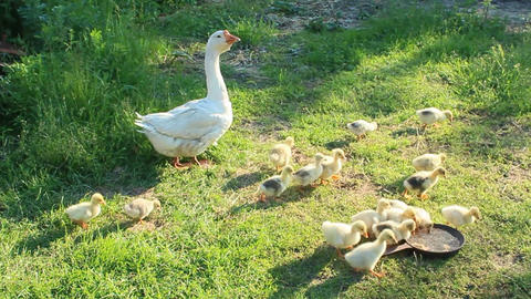 goslings with goose on the grass Footage