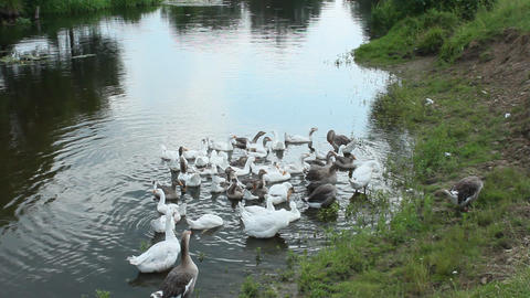 domestic geese swimming on the water Footage