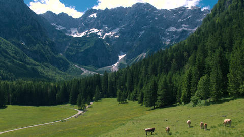 Aerial - Tilt up from cows pasturing on green field to scenic Alpine mountains Footage