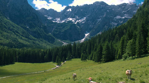 Aerial - Picturesque Alpine landscape in spring with cows on pasture Footage