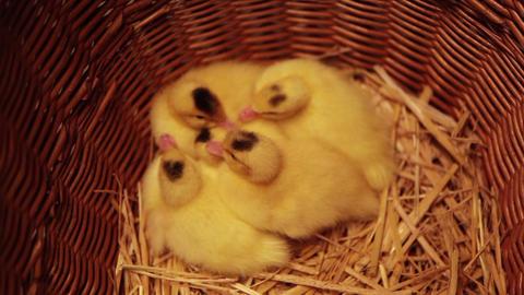 Closeup of newborn ducklings in a basket Footage