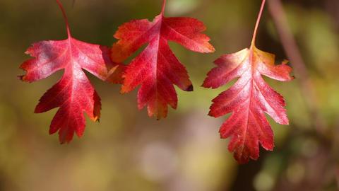 Three Autumn Red Leaf Footage
