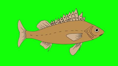 Big Fish Ruff Swimming Isolated Animation
