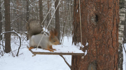 Squirrels climb trees in the forest 001 Live Action