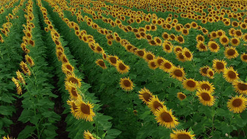 Aerial view of Sunflowers field. Flight over the sunflower field, flowering Live Action
