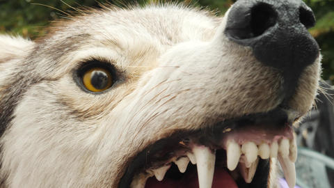 Angry Aggressive Stuffed Wolf with Sharp Teeth Live Action