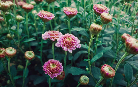 Close up of flowered pink chrysanthemums with buds. Blooming autumn flowers nature background. Soft Photo