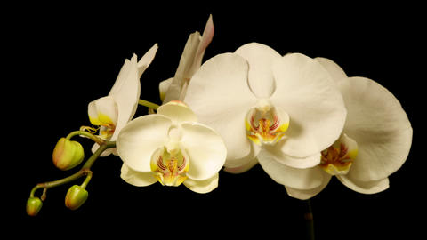 Time Lapse Orchids Flower Opening Footage