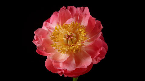 Time Lapse Peony Flower Opening Footage
