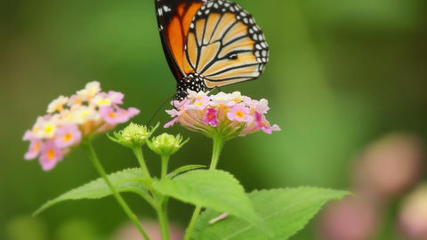 Butterfly And Flower Macro Live Action