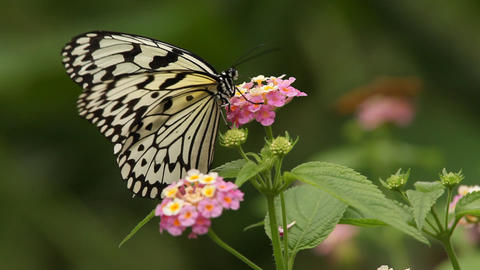 Butterfly And Flower Macro Footage