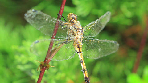 Dragonfly Covered In Dew Macro Live Action