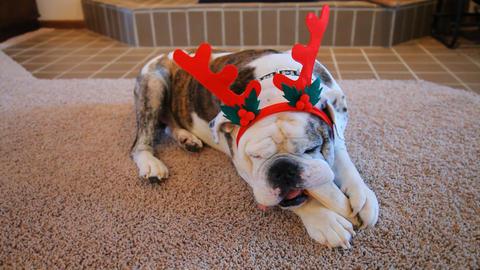 Bulldog Ready For Christmas Footage