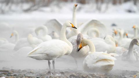 Swans in the Myst Japan ビデオ