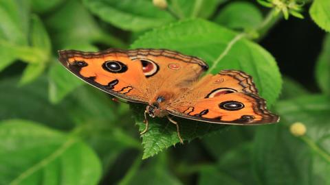 Butterfly Feeding From A Flower Macro Footage
