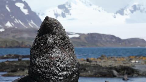 Fur Seal on South Georgia Isaland Footage
