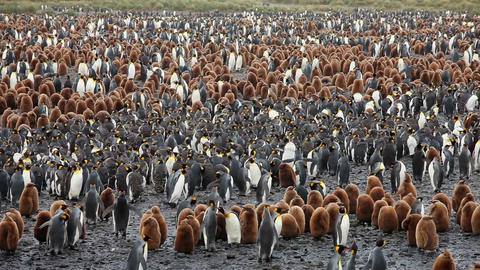 King Penguin Colony on South Georgia Live Action
