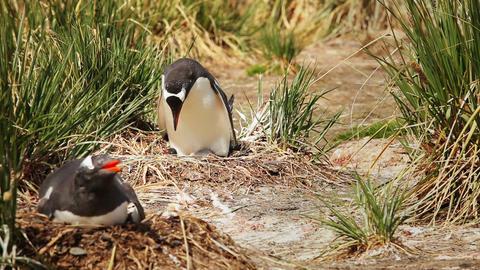Nesting Gentoo Penguin Footage