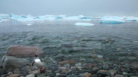 Gentoo Penguins Swimming Antarctica Footage